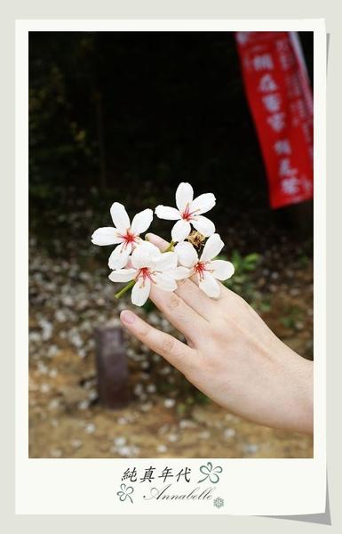 油桐花22.jpg