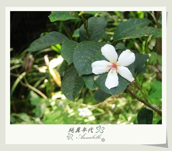 油桐花26.jpg