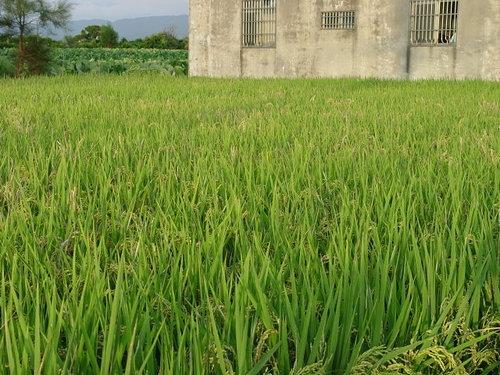 有機水稻1.jpg