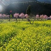 到處都有成排的櫻花