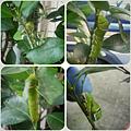 金桔樹上的綠毛毛蟲2