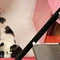 貓咪住宿照。黑白喵-阿松