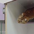 糖果屋貓咪旅館-阿松咪寶生活照