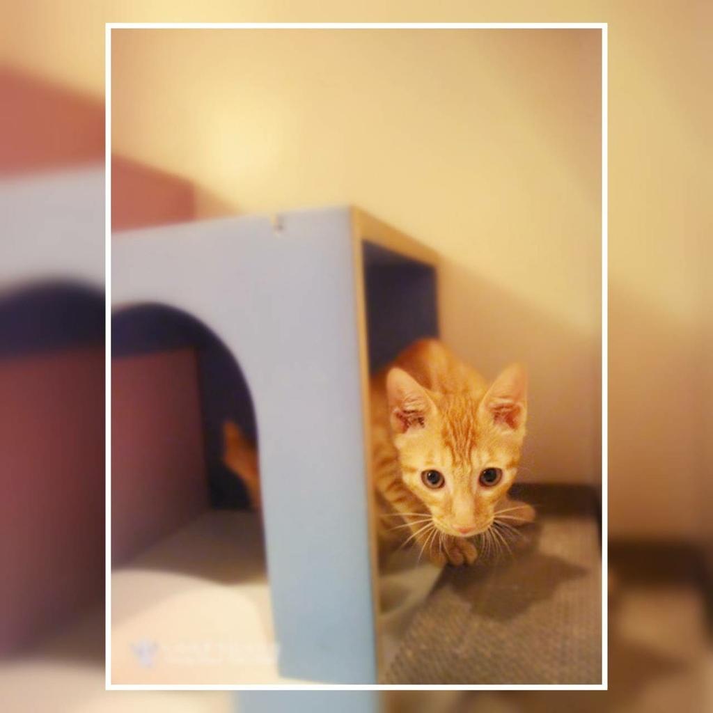 板橋糖果屋貓咪旅館-幸福的多比-小時候的小橘貓-在乳酪小洞