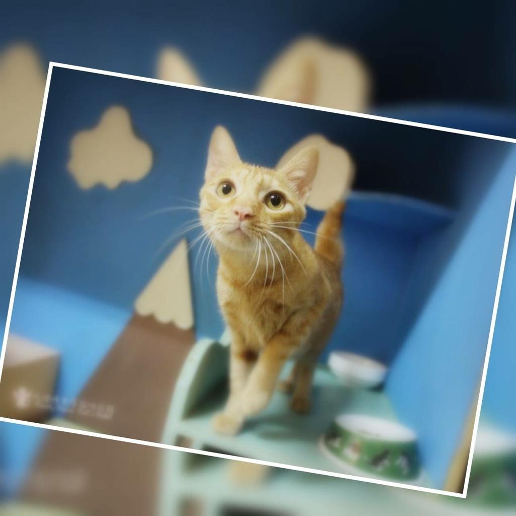 板橋糖果屋貓咪旅館-幸福的多比-1