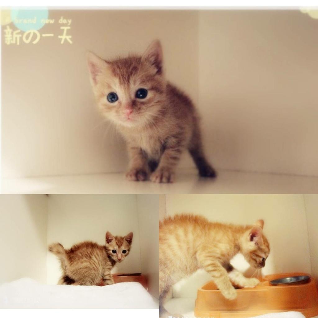 板橋糖果屋貓咪旅館-幸福的多比-小時候的小橘貓