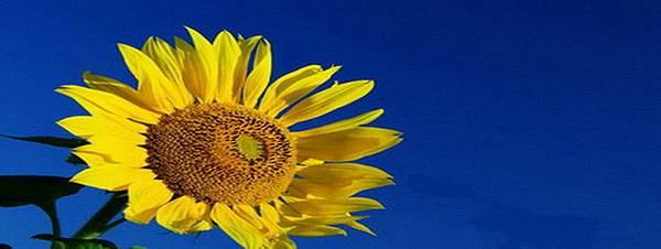 太陽花-1