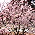 盛開的櫻花,讓人心情大好