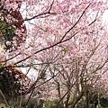 整條步道都是櫻花