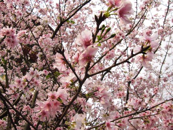 盛開的櫻花,爭搶春天的氣息