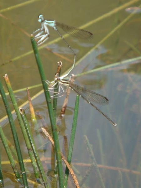 ㄟ  難道現在是春天  很多昆蟲都很恩愛.JPG
