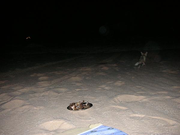 沙漠小狐狸
