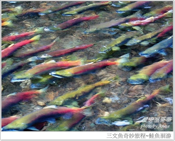 鮭魚迴流1-1blog.jpg