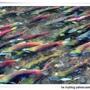 鮭魚迴流1.jpg