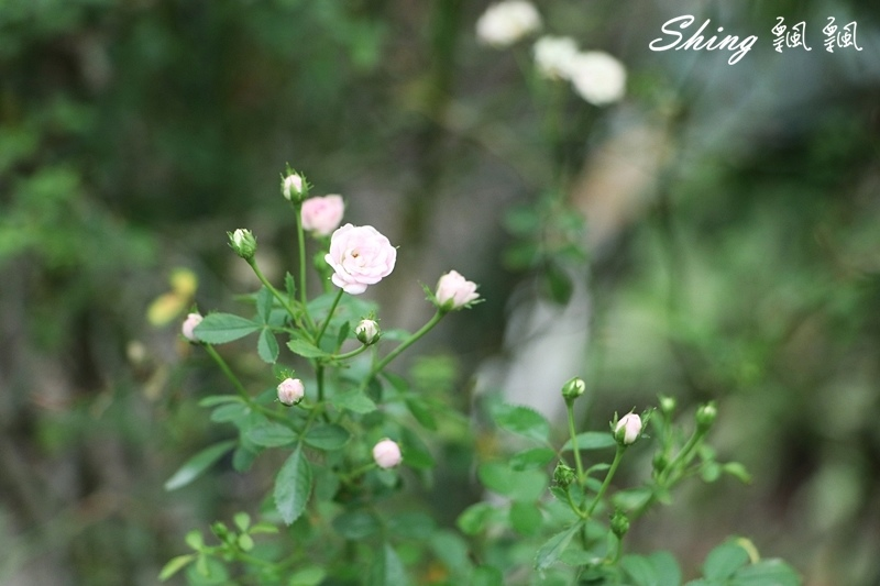 蘿莎玫瑰山莊ROSAHILL 26.JPG