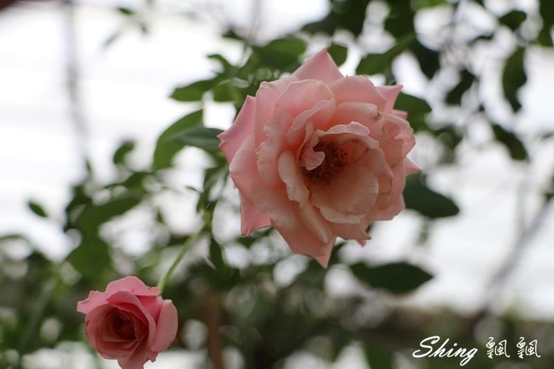 蘿莎玫瑰山莊ROSAHILL 32.JPG