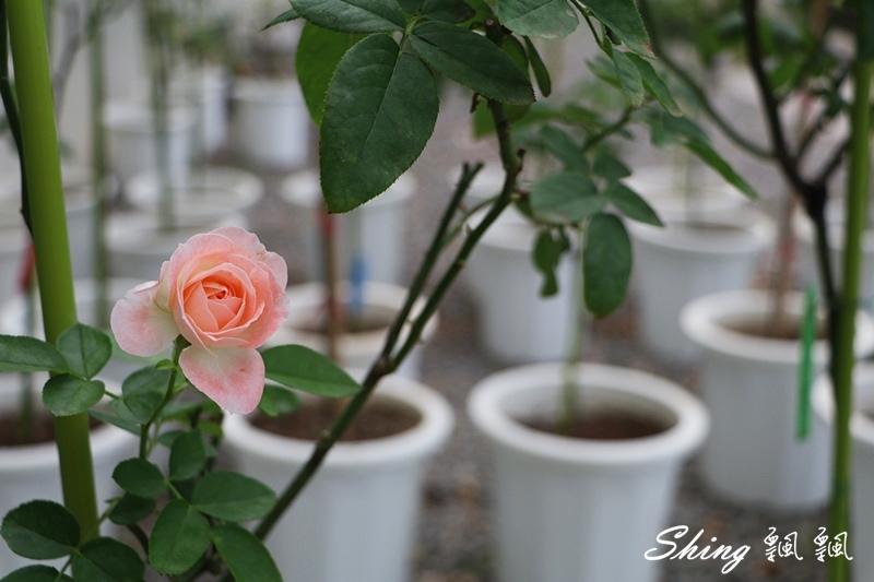 蘿莎玫瑰山莊ROSAHILL 33.JPG