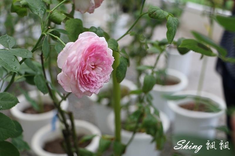 蘿莎玫瑰山莊ROSAHILL 29.JPG
