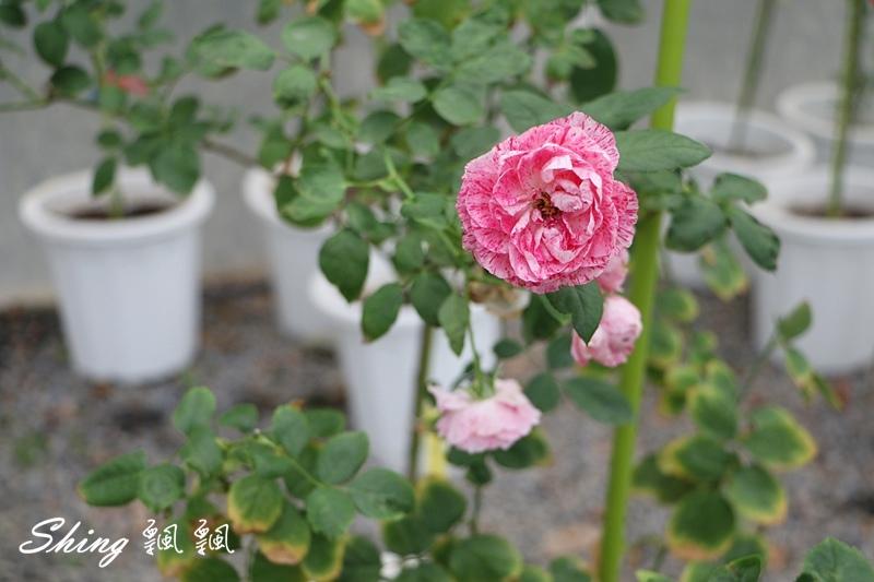 蘿莎玫瑰山莊ROSAHILL 30.JPG