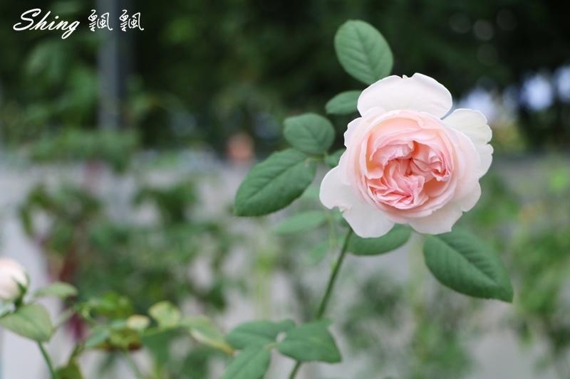 蘿莎玫瑰山莊ROSAHILL 36.JPG