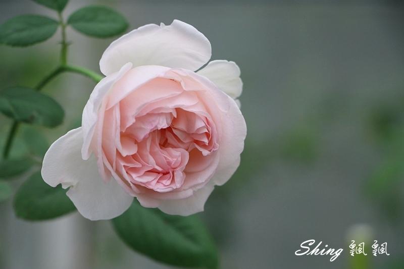 蘿莎玫瑰山莊ROSAHILL 35.JPG