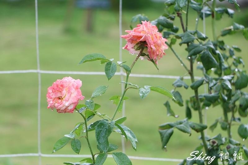 蘿莎玫瑰山莊ROSAHILL 53.JPG