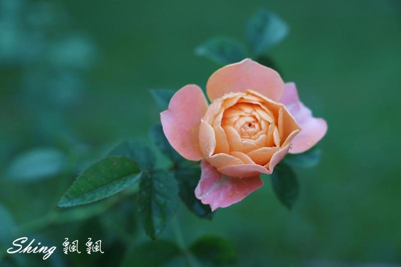 蘿莎玫瑰山莊ROSAHILL 57.JPG