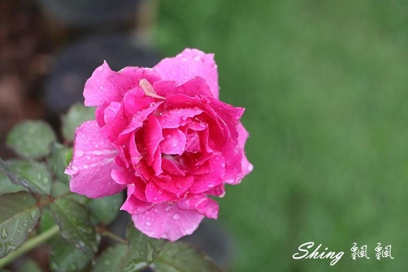 蘿莎玫瑰山莊ROSAHILL 75.JPG