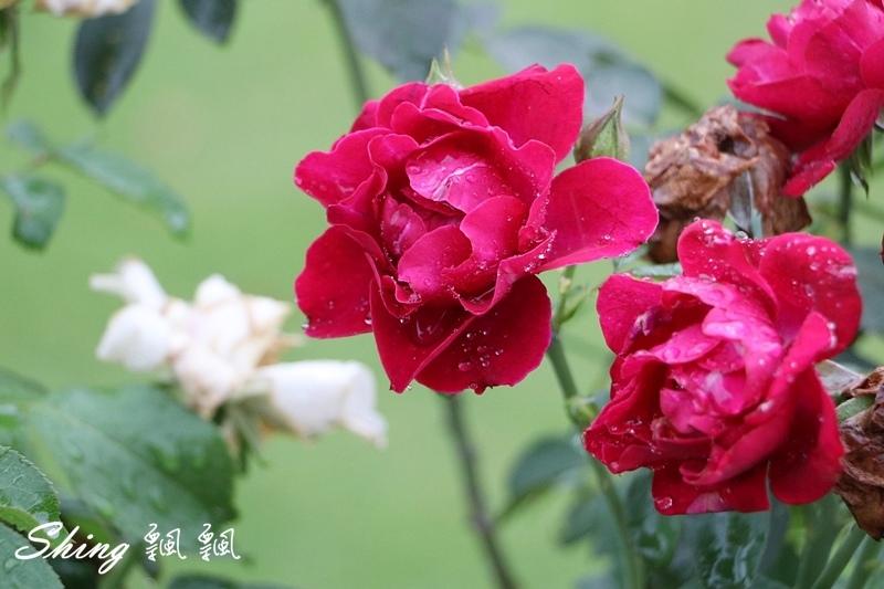 蘿莎玫瑰山莊ROSAHILL 76.JPG