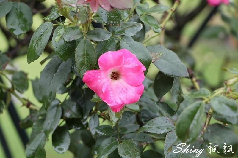 蘿莎玫瑰山莊ROSAHILL 77.JPG