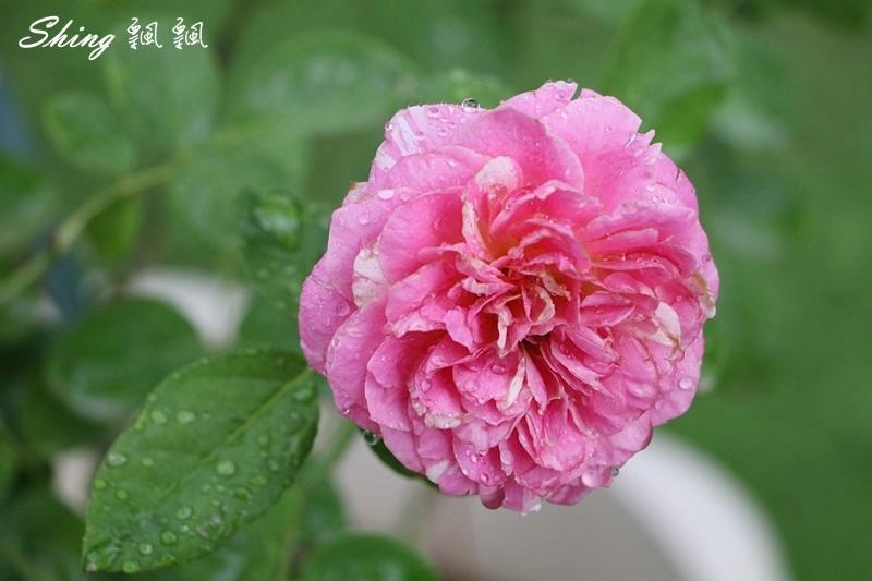 蘿莎玫瑰山莊ROSAHILL 83.JPG