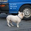 不怕車的狗狗