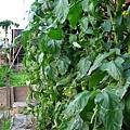 老爸的菜園961125