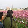 961230秀水附近 波絲菊 (5).JPG