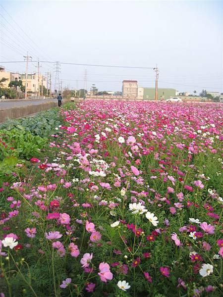 961230秀水附近 波絲菊 (16).JPG