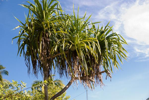長在樹上的pineapple