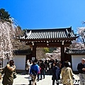 櫻花.醍醐寺