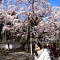 櫻花.醍醐寺.三寶院