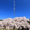 醍醐寺.櫻花.靈寶館 吹雪!!