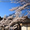 醍醐寺.櫻花