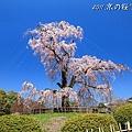 京都.圓山公園.櫻花