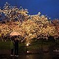 二條城.雨中夜櫻