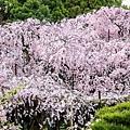 平安神宮.紅枝垂櫻