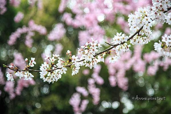 平安神宮.吉野櫻和紅枝垂