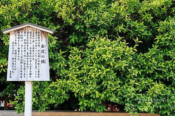 平安神宮.右近之橘
