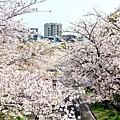大阪.櫻花河道.毛馬櫻之宮公園