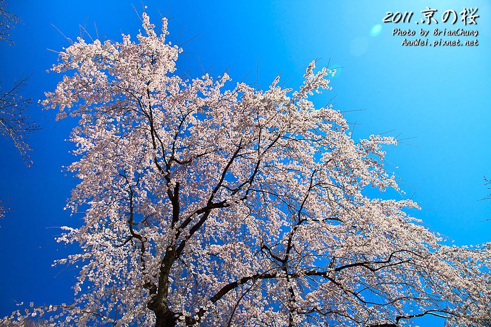 平野神社 支垂櫻 滿開