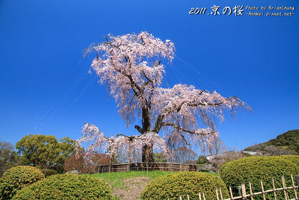 円山公園支垂櫻