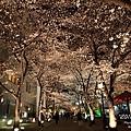 祇園 白川 夜櫻