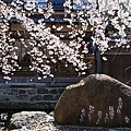 祇園 白川 支垂櫻